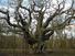 Major Oak in Sherwood