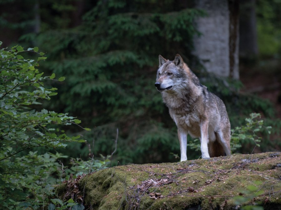 Wolf in Duitsland