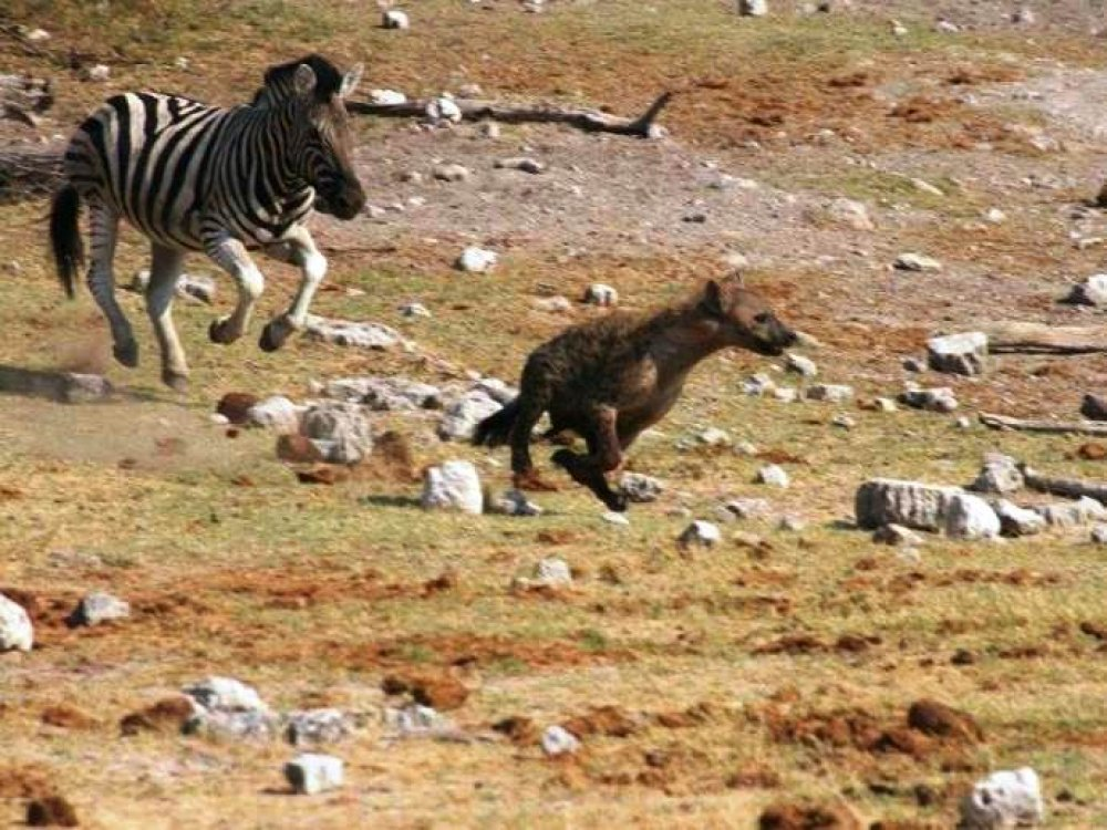 Hyena zebra fight