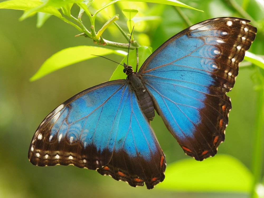 Blue Morpho Costa Rica