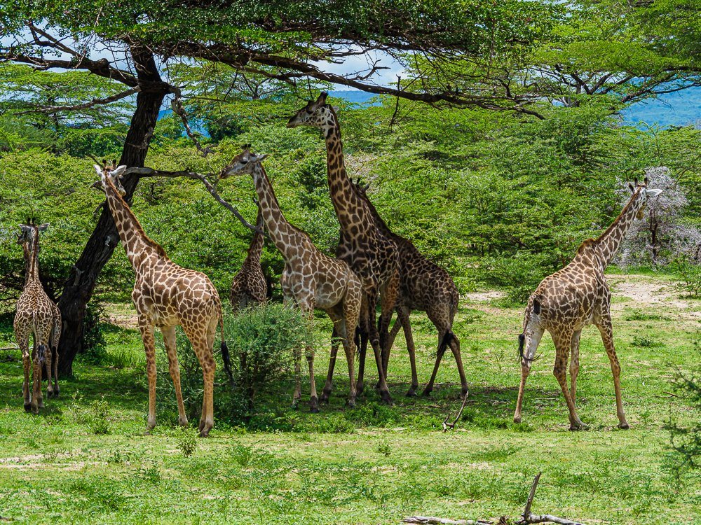 Giraffen in Selous